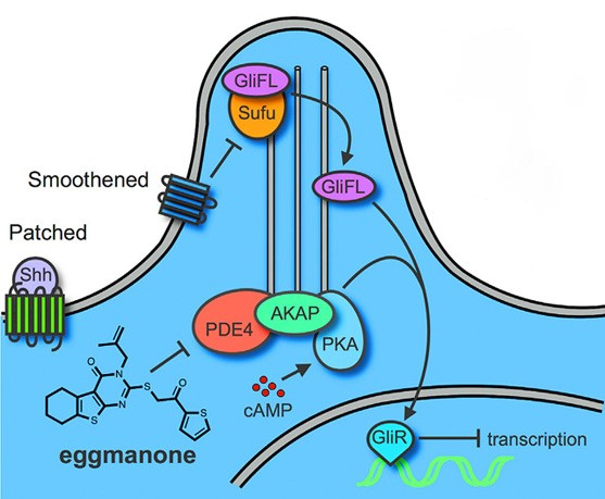 A simplified outline of the Hedgehog signaling pathway