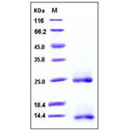 Human / Mouse / Rat / Rhesus / Canine BMP-2 / BMP2A Protein