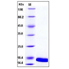 Mouse TNF-alpha / TNFA Protein