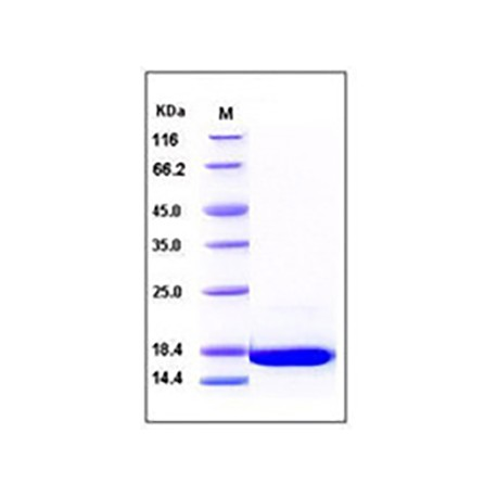 Human aFGF / FGF1 Protein