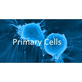Human Primary Adrenal Capsule Fibroblasts Cells