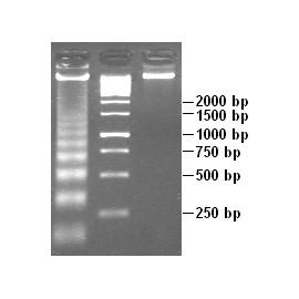 DNA Marker Broad Range