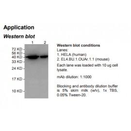 HRP conjugated Rabbit Anti-human β-Actin (ACTB) Monoclonal Antibody (clone 4C4)