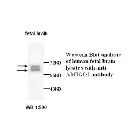 AMIGO2 Antibody